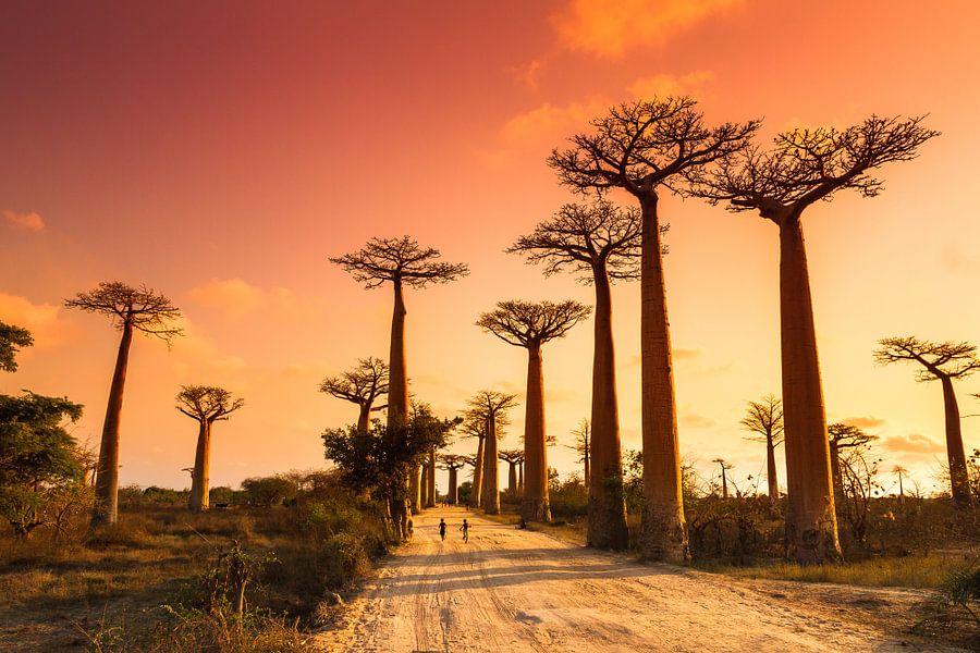 Allée des baobabs Madagaskar