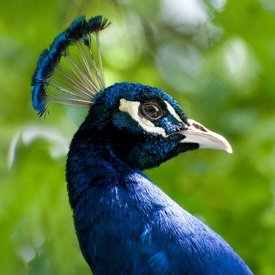 Blauwe pauw (Pavo cristatus)