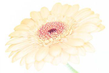 """""""High Key"""" Blume farbe 1 von Albert Mendelewski"""