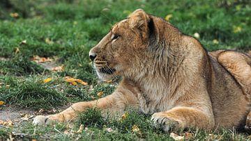 Asiatischer oder persischer Löwe : Blijdorp Zoo von Loek Lobel
