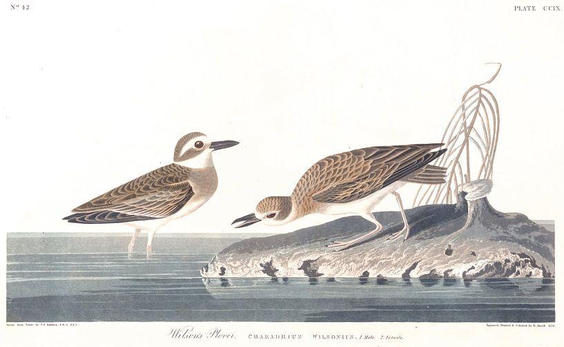 Dikbekplevier van Birds of America