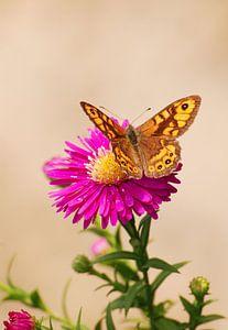 Argusvlinder op bloem