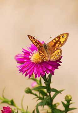 Argusvlinder op bloem van Margreet Frowijn