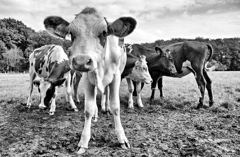 Nieuwsgierige koeien van Jessica Berendsen
