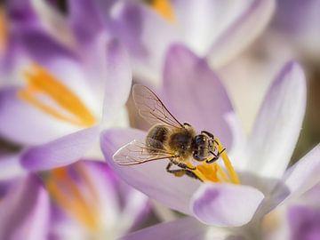 Frühlingsbiene von Lex Schulte