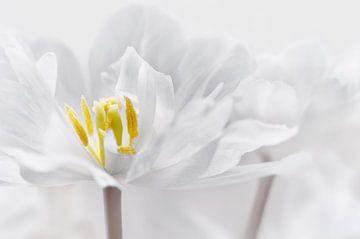 Tulpe von Violetta Honkisz