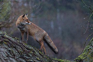 Fuchs in der Dämmerung... Rotfuchs *Vulpes vulpes* von wunderbare Erde