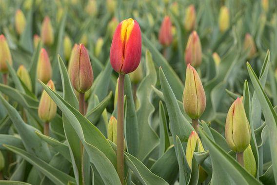 rode tulpen in een bloembollenveld van eric van der eijk