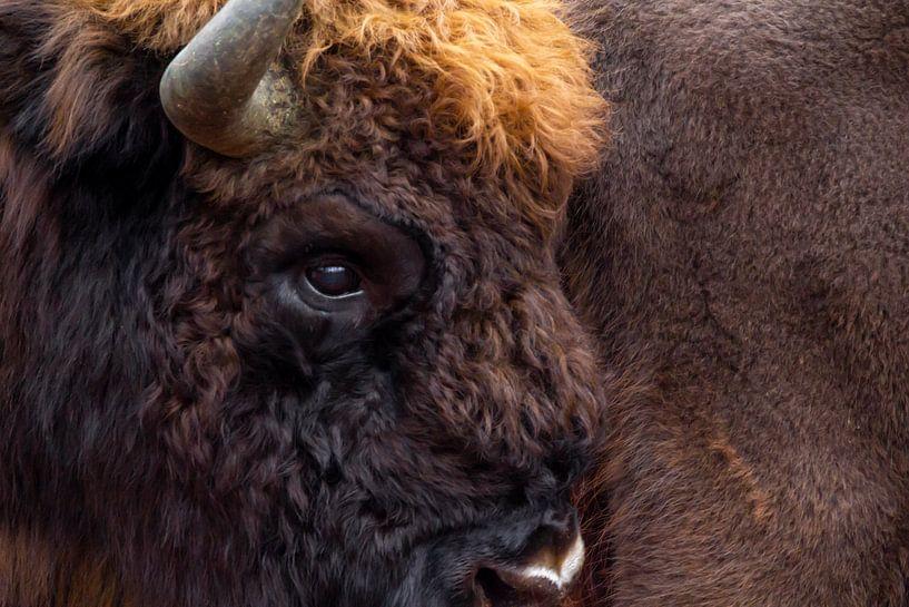 Portret Europese bizon   Wildlife in Nederland van Dylan gaat naar buiten