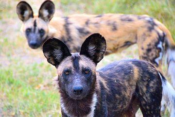 De Afrikaanse wilde hond van
