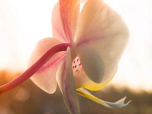 Macro Fotografie Orchidee