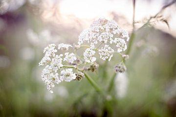 Witte Bloemen van Lonneke Prins