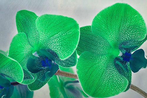 Groene gevlekte orchidee