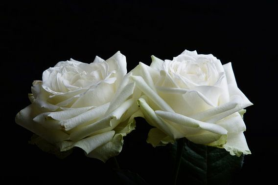 twee witte rozen