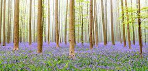 Hyacinten bos
