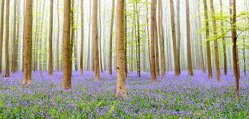 Hyacinten bos van