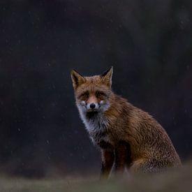 Vos/Fox/Vulpes van Rick Ermstrang