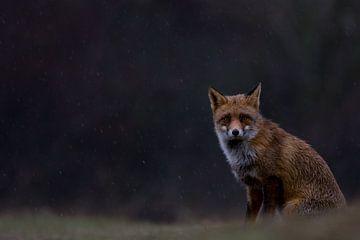 Vos/Fox/Vulpes van
