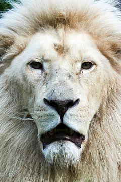 Witte leeuw  frontaal portret van