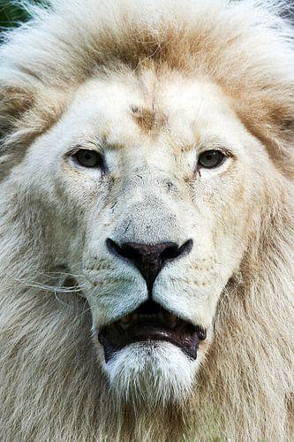 Witte leeuw  frontaal portret