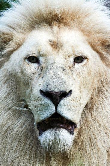 Wiite leeuw  frontaal portret