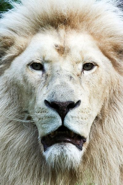 Witte leeuw  frontaal portret van Erik Wouters