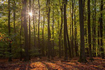 Licht door de bomen in het Speulderbos van Renske Breur