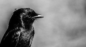 Little black bird van