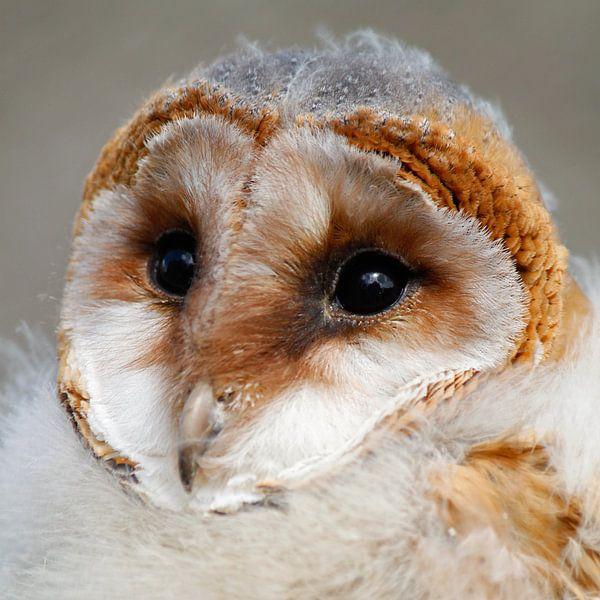 Barn Owl sur Martzen Fotografie
