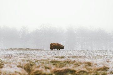 Schottische Highlander im Winter von Dave Adriaanse