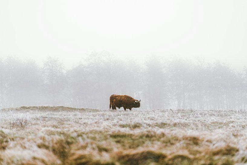 Schotse hooglander in de winter (landscape) van Dave Adriaanse