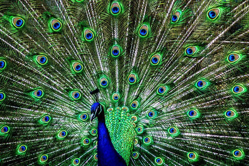 The peacock van Michael Nägele