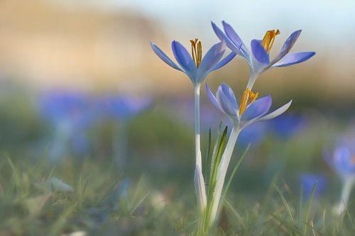 Boerenkrokus op een mooie lente dag van