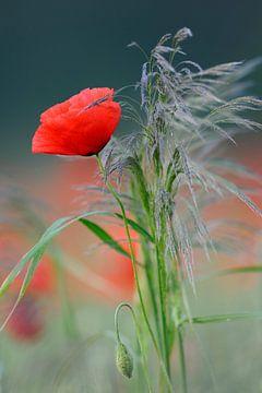 Flowering Poppy *Papaver rhoeas* van