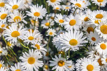 Blühende Gänseblümchen aus der Nähe von Ruud Morijn
