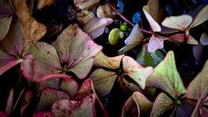 Bloembladeren van Hortensia's van Jenco van Zalk