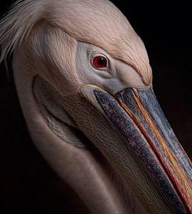 Portrait pelikaan