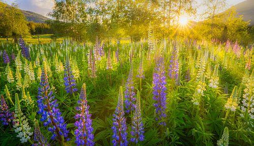 Lupines bloeien in de zomer in een veld in Noorwegen