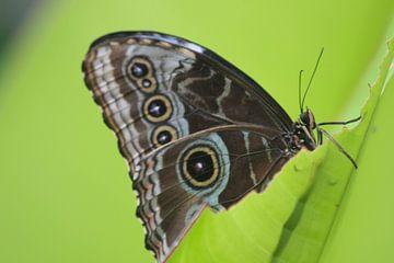 Ik heb honger! Vlinder eet aan een blaadje von Leontien van der Willik-de Jonge