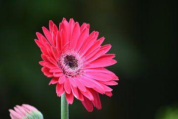 Roze gerbera von Niki Radstake