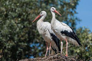 Zwei erwachsene Störche Ciconiidae stehen auf einem großen Nest.