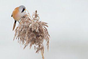 Baardman in het riet in de winter