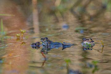 Sich paarende Frösche von der Seite gesehen, im Sumpf von John Ozguc