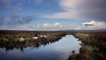 Grazende koeien in Ierland van Bo Scheeringa Photography