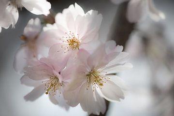 Magische kersenbloesem in het voorjaar van Ella Schnur