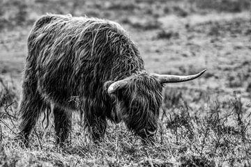 Schottischer Hochlandbewohner von Patrick  van Dasler