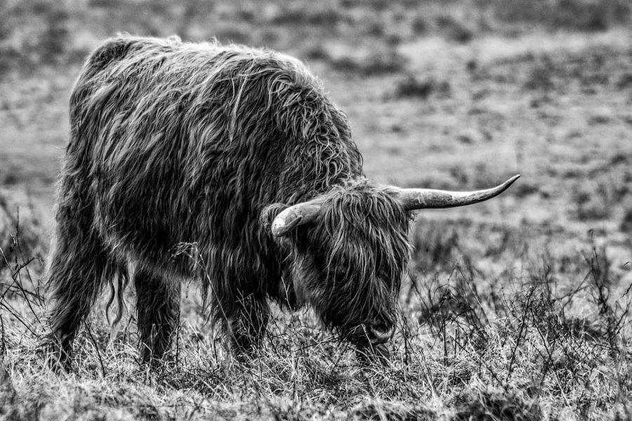 Schotze hooglander van Patrick  van Dasler