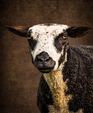 Schaf: Porträt geschecktes Schaf von Marjolein van Middelkoop