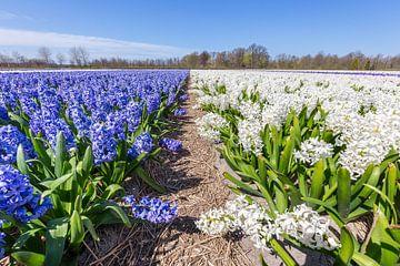 Bloemenveld met blauwe en witte hyacinten in Holland van Ben Schonewille