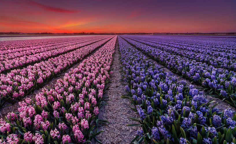 Hyacinten bloemenvelden van Dennisart Fotografie